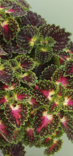 Proven Winners - ColorBlaze® Strawberry Drop - Coleus - Solenostemon scutellarioides plant details, information and resources. Plant Sale, Container Flowers, Plants, Beautiful Flowers Garden, Foliage Plants, Beautiful Flowers, Flowers, Shade Plants, Container Gardening