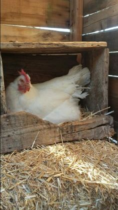 Nothing sweeter than a hen in a nest <3