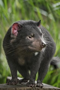 Tasmanian devils may have a fearsome reputation, but they are really just misunderstood.