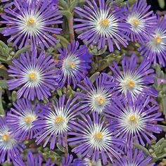 Ice Plant Stardust - perennnial ground cover - Delosperma floribunda