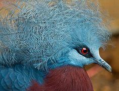 Pretty Bird (Blue Crowned Pigeon)