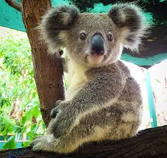 Koala bears. Mascot of Australia, yet they're going extinct! Huge problems...