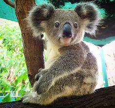 Koala bears. Mascot of Australia, yet they're going extinct! Huge problems...