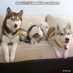 Funny pictures about Day They Still Think I'm A Husky. Oh, and cool pics about Day They Still Think I'm A Husky. Also, Day They Still Think I'm A Husky photos. Funny Animal Quotes, Animal Jokes, Cute Funny Animals, Funny Animal Pictures, Funny Cute, Animal Facts, Funny Photos, Smart Animals, Animal Captions
