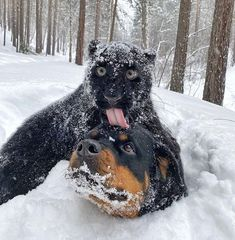 Rottweiler, Love Photos, Best Funny Pictures, Panther, Habitats, Best Friends, Nature Photography, Cute Animals, Cosplay