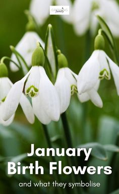 Wondering what flowers to buy as a birthday gift? Choosing the recipient's birth flowers is a great way to make it a more unusual and personal gift. We take a look at the birth flowers for January and learn about their meanings. #flowers #birthflowers #growingfamily