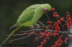 <p>Halsbandsittich 03 </p> <p>Halsbandsittich_Psittacula krameri_Rose Ringed Parakeet_2012_11_30_79_01_00_140</p>