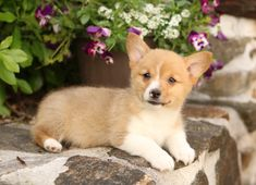 💚😊🐾 #Affectionate small house companions, #WelshCorgi puppies are sweet buddies to have! They are friendly and very intelligent making them the perfect family pet. ▬▬▬▬▬▬▬▬▬▬▬▬▬▬▬▬▬▬▬ #Charming #PinterestPuppies #PuppiesOfPinterest #Puppy #Puppies #Pups #Pup #Funloving #Sweet #PuppyLove #Cute #Cuddly #Adorable #ForTheLoveOfADog #MansBestFriend #Animals #Dog #Pet #Pets #ChildrenFriendly #PuppyandChildren #ChildandPuppy #LancasterPuppies www.LancasterPuppies.com Corgi Puppies For Sale, Pembroke Welsh Corgi Puppies, Animals Dog, Cute Animals, Lancaster Puppies, Mans Best Friend, Puppy Love, Pets, Sweet