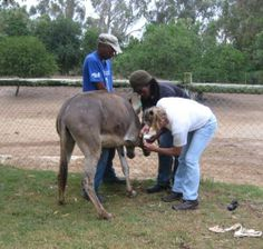 Treloar is always ready to lend a hand, Thank Goodness!     Courtesy: Eastern Cape Horse Care Unit, Port Elizabeth (Republic of South Africa).