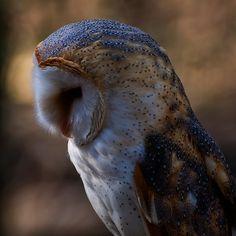 Barn owl profile 2