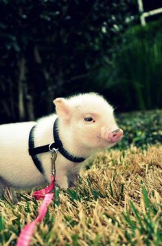 Miniature potbellied pigs stay small! I can just picture me walking my miniature potbellied pig names Theresa.
