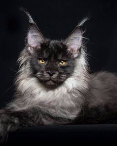 Who knew you could rent to own home ownership renting Black Smoke Maine Coon Cat Gato Maine, Chat Maine Coon, Pretty Cats, Beautiful Cats, Animals Beautiful, Hello Beautiful, Stunningly Beautiful, Beautiful Person, Grand Chat