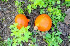 Hokkaidokürbis Garden, Peach, Garten, Lawn And Garden, Gardening, Outdoor, Gardens, Tuin