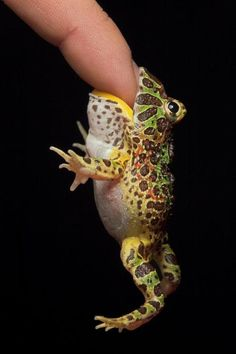 A Cranwell's horned frog bites a man's finger in Igor Siwanowicz's studio in Wisconsin. Biochemist and photographer Igor Siwanowicz has spent the last five years acquiring, breeding and photographing bizarre reptiles and amphibians. Funny Frogs, Cute Frogs, Beautiful Creatures, Animals Beautiful, Reptiles Et Amphibiens, Mammals, Frosch Illustration, Pacman Frog, Photo Humour