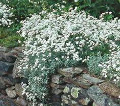 Cerastium tomentosum, Silverarv. Slagtålig, invasiv/rotslående