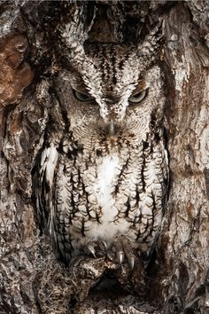 "witchedways: "" expressions-of-nature: "" Eastern Screech Owl, Georgia by Graham McGeorge "" bewitched forest """