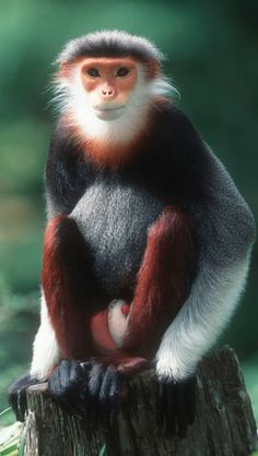 """Red-shanked Douc Langur ~ The red-shanked douc is a species of Old World monkey, among the most colourful of all primates. This monkey is sometimes called the """"costumed ape"""" for its extravagant appearance. Primates, Mammals, Rare Animals, Animals And Pets, Funny Animals, Strange Animals, Wild Animals, Beautiful Creatures, Animals Beautiful"""