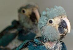 O nascimento de dois filhotes de ararinha-azul (Cyanopsitta spixii) no Brasil, espécie ameaçada de extinção, quebrou um jejum de 14 anos sem que fosse registrada no país a reprodução desta ave em cativeiro. De acordo com o Instituto Chico Mendes (ICMBio), ligado ao Ministério do Meio Ambiente, os filhotes