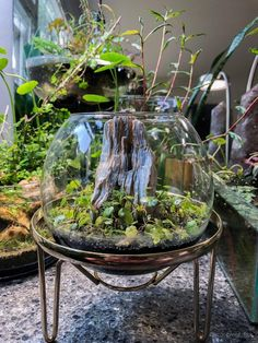 A place for aquatic flora and fauna enthusiasts! Whether you have a question to ask or a planted tank to show off, this is the place. Mini Terrarium, Terrarium Plants, Water Terrarium, Indoor Water Garden, Indoor Plants, Succulents Garden, Garden Plants, Bog Garden, Inside Garden