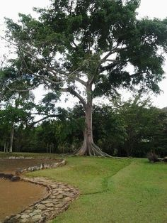 Ceiba tree in the Park Ceremonial Indígena of Caguana, Utuado, ☀Puerto Rico☀