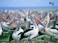 Mysteries of the Australian pelican - Australian Geographic