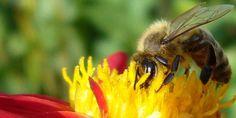 Aj včelí med patrí medzi domáce výrobky Med, Insects