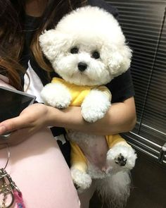 14 Reasons Bichon Frises Are The Worst Indoor Dog Breed Of All Time Bichon Frise, Bichon Dog, Teacup Chihuahua, Cute Puppies, Cute Dogs, Dogs And Puppies, Doggies, Cute Baby Animals, Funny Animals