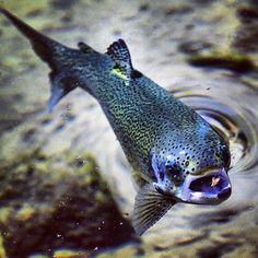 trout fishing tips 7104 Trout Fishing Tips, Fishing Lures, Photos Of Fish, Fishing Photos, Fish Tales, Fishing Photography, Rainbow Trout, Beautiful Fish, Fish Camp