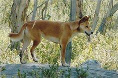 Dingo-Duncan's boss, Charles had one. Kujo-he passed 2012. RIP