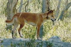 Dingo-Duncan's boss, Charles had one. Kujo-he passed 2012. RIP