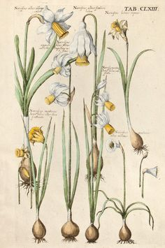 Matthaeus Merian - Narcissus varieties - From Viridarium Reformatum, seu Regnum Vegetabile (Newly Revised Garden of the Plant Kingdom) by Michael Bernhard Valentini - 1719 Floral Illustration, Illustration Botanique, Nature Illustration, Vintage Botanical Prints, Botanical Drawings, Antique Prints, Botanical Flowers, Botanical Art, Flora Und Fauna