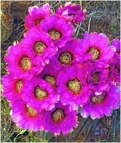 https://flic.kr/p/bW8SZ9 | HC290  Lace cactus, (Echinocereus reichenbachii)  Llano County, Texas | Texas spring wildflowers