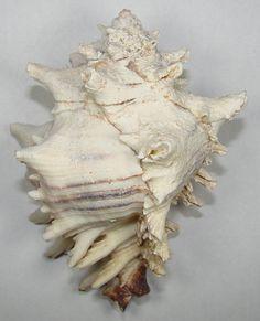 3-4inch FIGHTING CONCHS Three HEMIFUSUS PUGILNA WHITE SEA SHELL,WEDDING 3