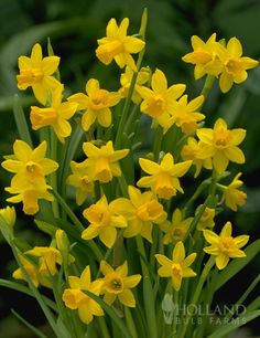 What could be more adorable in the garden than the tiny 'Tete a Tete' Daffodil? These Mini Daffodils are early bloomers and are a favorite in garden borders, as well as rock gardens. Its long lasting flowers are a golden, buttercup yellow with darker centers and will light up areas of groundcover. Cutting just a few to put in a small simply bud vase can bring joy to an entire room. Also, try planting in a pot for some sunshine indoors this spring!