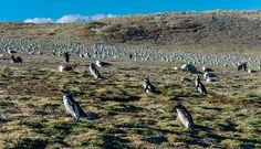 Penguins at Isla Magdalena, Chile