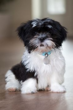 Shih Tzu Puppy! My 4-year-old Shih Tzu is the sweetest dog ever! She loves everyone and is overall an amazing dog!