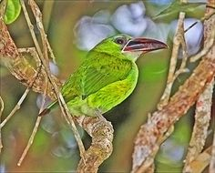 tucaninho-verde_Aulacorhynchus whitelianus_Brazilian Birds