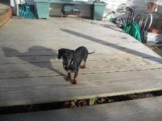 Ty is an #adoptable Dachshund Dog in #Baltimore, #MARYLAND.  Needs to go to an active home with at least one other dog.   AGE:   1.2 year (DOB:  12/29/11) SEX:    Male  Neutered ...  ...