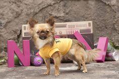 #chihuahua #dog #puppy