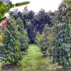 แต่งสวน ก็สวยดี ทรงฉัตรปลายแหลมๆ หมอนทอง Fruit, Plants, The Fruit, Flora, Plant, Planting