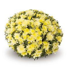 Bigli Yellow