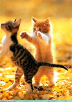 ❥ Come on brother give me a hug ~ sweet kitten!
