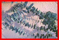 free Fresh EUCALYPTUS GUNNII Leaves HERB Organic Sprigs Marsupials Bouquets Soaps Lotions