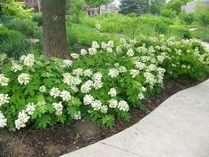 'Pee Wee': an oakleaf hydrangea cultivar noted for its compact size (typically grows to 3-4' tall and 3' wide).  Rounded habit. 'Pee Wee' differs from the species in that it grows much smaller with smaller leaves, and has a more restrained habit with less frequent suckering. Elongated, pyramidal panicles flowers appear in early summer and bloom for 6-8 weeks. Flowers emerge white, gradually fade to pink and turn brown by late summer with good persistence of the panicles into winter.