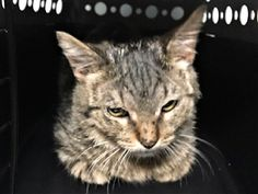 DANNY - 17064 - - Manhattan *** TO BE DESTROYED 01/03/18 *** DANNY was brought in by owner stating he tested positive for ringworm at the vet but the shelter did not detect anything. He is about 5 months old and friendly and needs a furever home and some follow up care. - Click for info & Current Status: http://nyccats.urgentpodr.org/danny-17064/