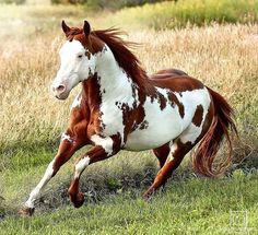 Beautiful American Paint Horse galloping through a field Beautiful Horse Pictures, Most Beautiful Horses, All The Pretty Horses, Animals Beautiful, Cute Horses, Horse Love, Animals And Pets, Cute Animals, Majestic Horse