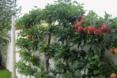 An espaliered apple tree keeps the fruit within reach and enables you to grow many varieties in a small space.
