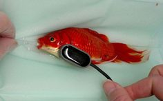 An unnamed man recently spent about US$500 on an unusual surgery to save the life of his pet goldfish at the Toll Barn Veterinary Centre in Norfolk. He had
