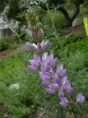 Lupine - Lupinus longifolius