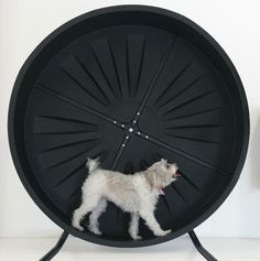 Our dog Daisy in the Pet Wheel!